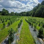 In Vermont's Third Year Of Industrial Hemp, Growth And Growing Pains