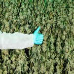 Canada's Grand Cannabis Experiment Has Set Scientists Free