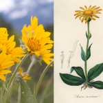 Companion Botanical Closeup: Arnica
